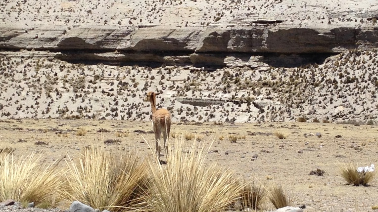 close up vicuña // A Slice of Peru