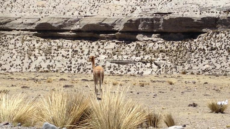 close up vicuña // A Slice of Peru