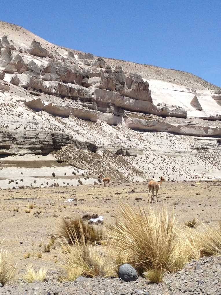 vicuñas // A Slice of Peru