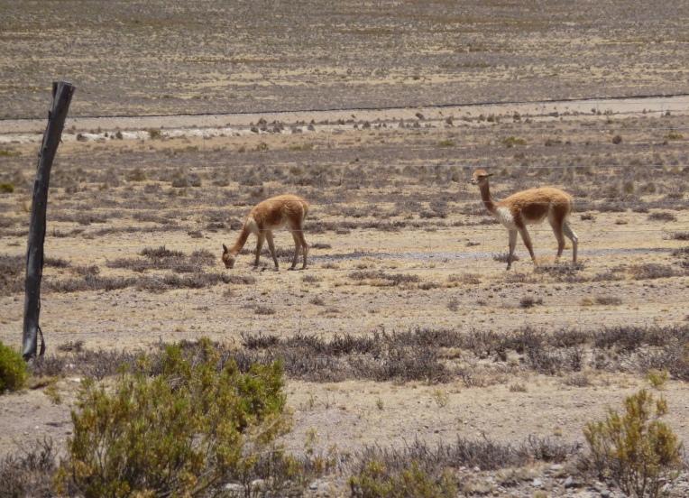 vicuña // A Slice of Peru