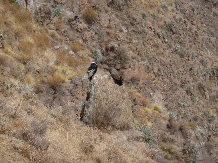 an adult and young condor // A Slice of Peru