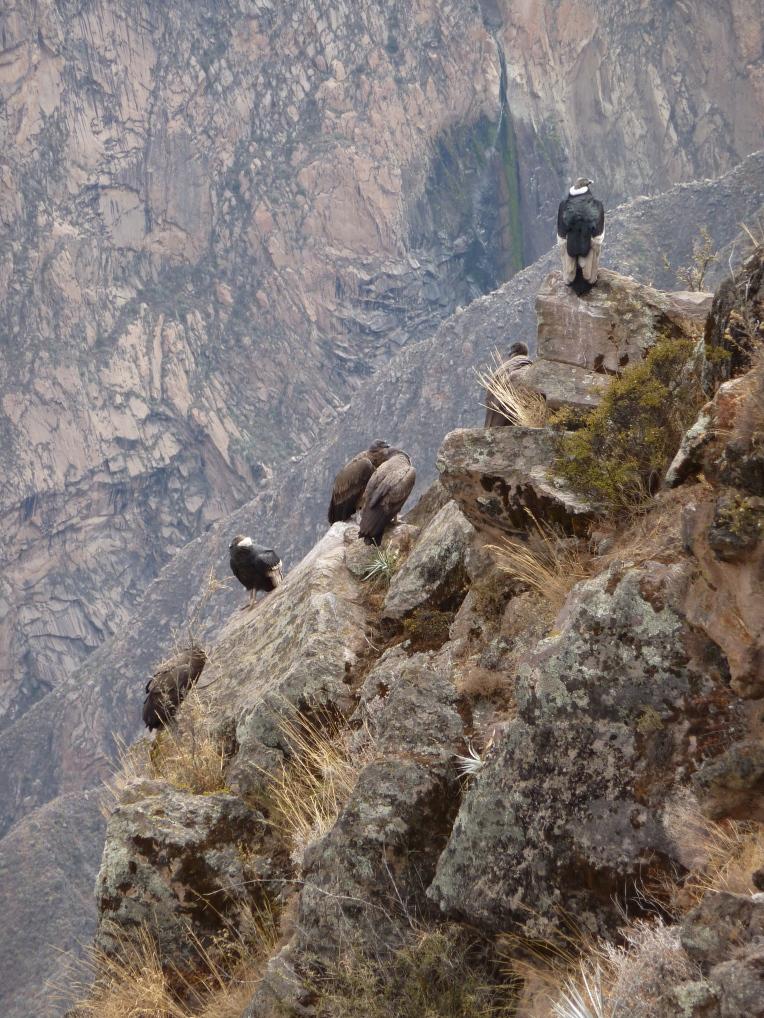 condors resting // A Slice of Peru