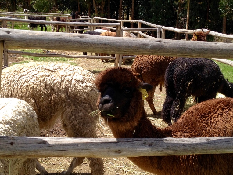 alpacas - Colca Lodge // A Slice of Peru