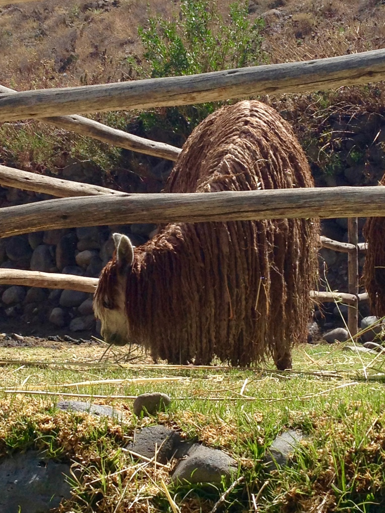 Suri alpaca - Colca Lodge // A Slice of Peru