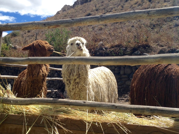Suri alpaca feeding - Colca Lodge // A Slice of Peru