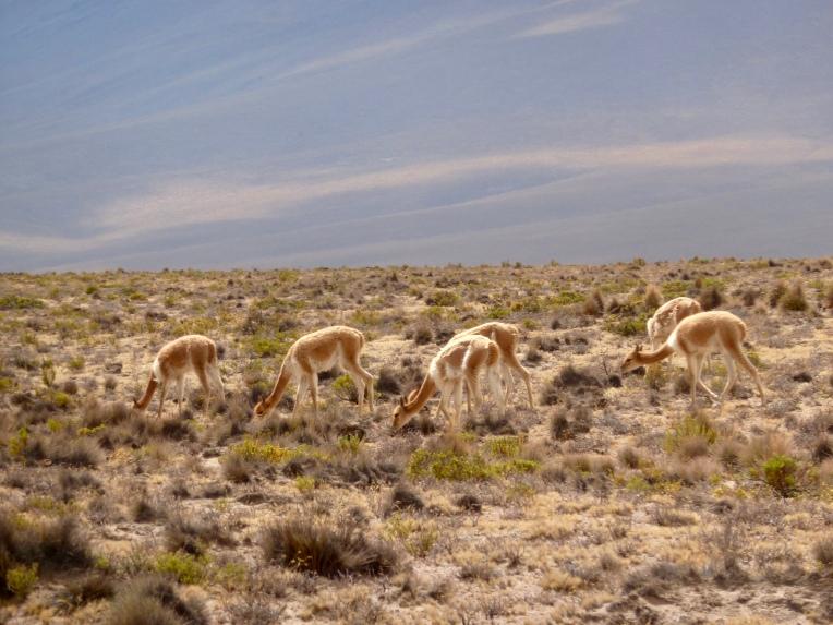 vicuña - Arequipa // A Slice of Peru