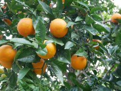 oranges, Sorrento // The Little Edition