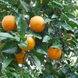oranges, Sorrento // The Little Edition
