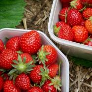 PYO Strawberries, Lidgate Farm, Isleham, England // The Little Edition