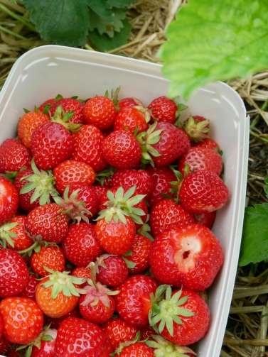 PYO Strawberries, Lidgate Farm, Isleham, England // The Little Edition